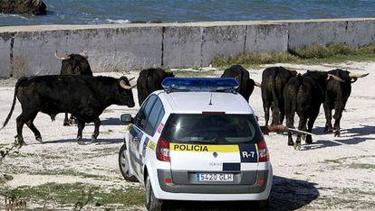 Una patrulla de la Policía Municipal de Cádiz intenta reagrupar a los toros que se escaparon del rodaje de una película protagonizada por Tom Cruise.