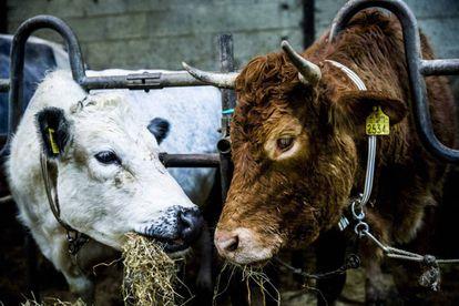 Hermien (derecha) come heno tras haber sido encontrada, en Zandhuizen (Holanda).