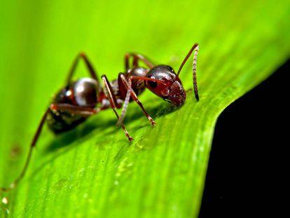 Las hormigas son víctimas de algunos de los parásitos más despiadados del planeta