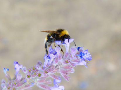 Un abejorro común se encarama a una flor en Nottingham (Inglaterra).