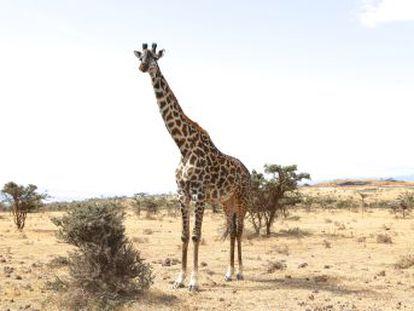 Unos pocos genes muestran la evolución del animal más alto que pisa la Tierra