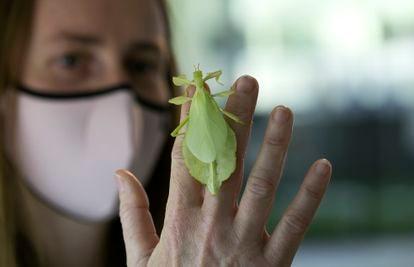 Una mujer coge un insecto hoja en el centro de la naturaleza InsectPark, en San Lorenzo de El Escorial.