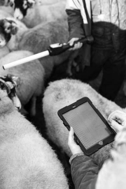 Un pastor revisa en un iPad la información recogida de los identificadores electrónicos de las ovejas