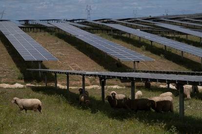 Un rebaño de ovejas, en una planta fotovoltaica en Trujillo, Cáceres (Extremadura).