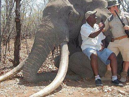 Cada colmillo del elefante pesaba unos 55 kilos.