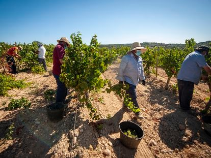 Vendimia en los viñedos de la bodega Enate, en Huesca.