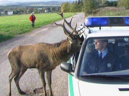 Un ciervo mete la cabeza en un coche policial.