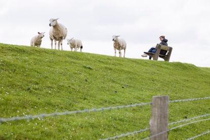 Una mujer lee sentada en un banco, mientras las ovejas pastan libremente en la cima del dique que protege la isla Pelworm.