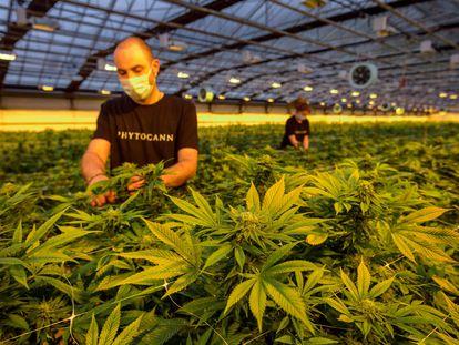Plantación legal de cannabis de la compañía Phytocann, cerca de la localidad suiza de Ollon, el pasado mayo.