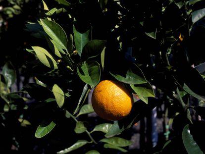 Un naranjo en un campo de Valencia.