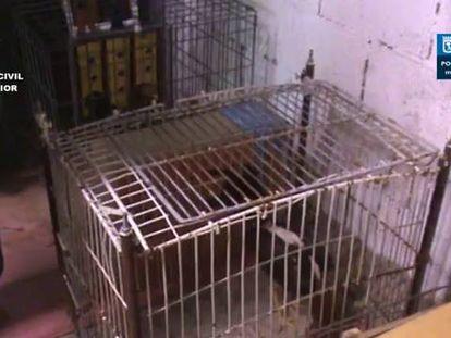 Operación de la Guardia Civil y la Policía Municipal que ha permitido desarticular una red de peleas ilegales de gallos en Madrid.