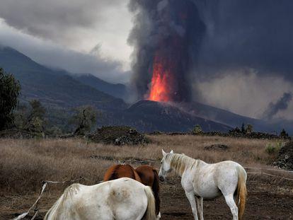 Unos caballos pastan no muy lejos del volcán Cumbrevieja, que lleva 24 días expulsando lava.