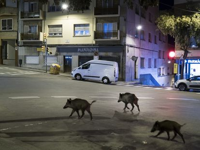 Jabalíes en el centro del barrio barcelonés de Vallvidrera.