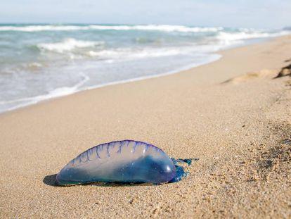 Una carabela portuguesa en una playa del litoral mediterráneo.