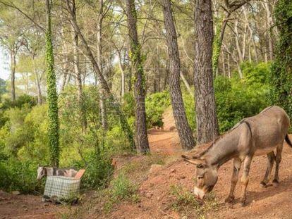 Uno de los burros que formaban parte el plan de limpieza de bosques para luchar contra los incendios forestales. La imagen fue compartida por la Generalitat valenciana en redes al comienzo de la iniciativa.