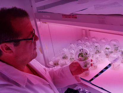 El científico Antonio Granell inspecciona los brotes de plantas de tomate editadas con CRISPR.