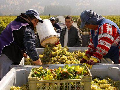 Un grupo de trabajadores chilenos, en plena vendimia.