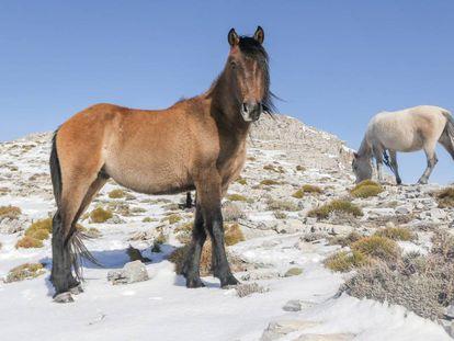 Dos de los caballos que viven en libertad en la Majada del Arce.