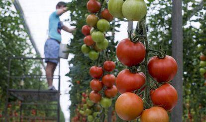 Un trabajador pone perchas en un invernadero de tomate en La Cañada (Almería).