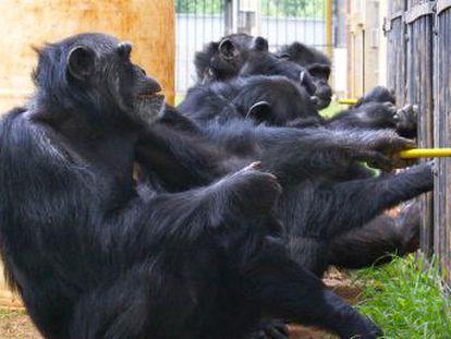 Un nuevo estudio demuestra que estos primates prefieren trabajar juntos antes que competir