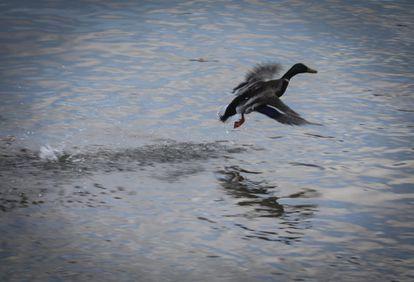 Un ánade real o azulón levanta su vuelo en el Manzanares.
