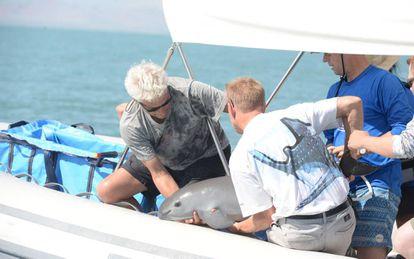 La vaquita marina, rescatada el miércoles en el golfo de California.
