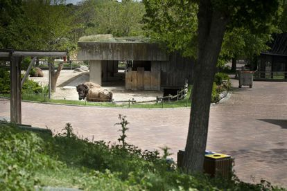 Un bisonte americano, que en primavera muda de piel, en el zoo de Madrid durante el estado de alarma.