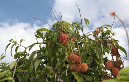 Un ejemplar de 'Litchi chinensis', el árbol tropical cuyo fruto se come bajo el nombre de lichis.