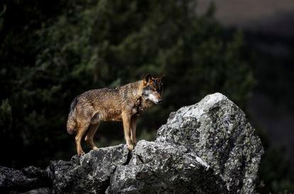 Lobo en el Centro del lobo ibérico de Castilla y León Félix Rodriguez de la Fuente en Robledo, Puebla de Sanabria.