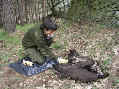 Un buitre negro muerto por envenenamiento.