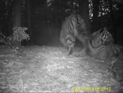 Tigres siberianos grabados en China por WWF.