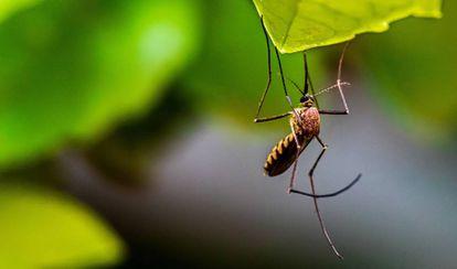 Mosquito captado en Bengaluru, Karnataka, India.