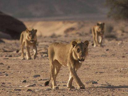 Los 'mosqueteros' en el desierto de Namibia. DESERT LION CONSERVATION PROJECT