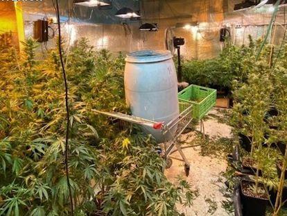 Plantas de marihuana intervenidas en una operación de desmantelamiento de la banda Los Ángeles del Infierno, en Tenerife. En vídeo, las imágenes de la operación.