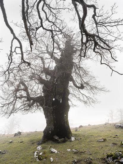 Brazos desnudos de hojas de quejigosde montaña entre la niebla, en el futuroparque nacional de la Sierra de las Nieves,que posee una gran amalgama botánica.