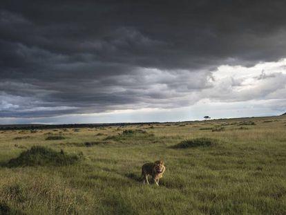 Un león, en la reserva nacional de Masái Mara.