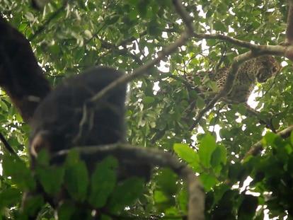 Instante del vídeo en el que el leopardo amenaza con sus colmillos a la bonoba 'Flora'.