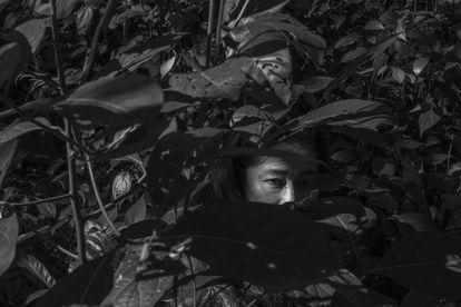 FOTOGALERÍA: Meri Fasabi (45) es una de las indígenas shipibo-konibo fundadora del Comando Matico, que cosecha hojas de esta planta. Ellos aseguran que cuenta con propiedades antiinflamatorias y la utilizan para mejorar ahora algunos de los síntomas de la covid-19.