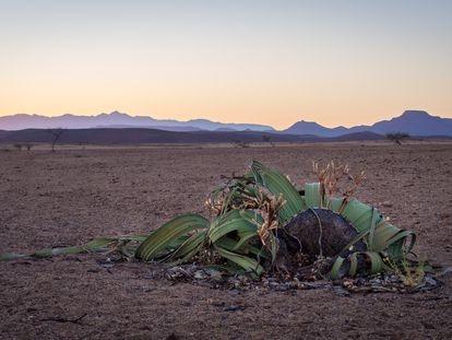 Un ejemplar de Welwitschia en el desierto de Namib, en Namibia, en 2016.