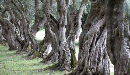 Viejos olivos en el pazo de Ortigueira, en Rivadulla