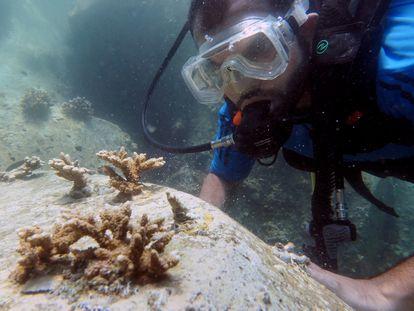 Un buzo inspecciona un trasplante de coral.