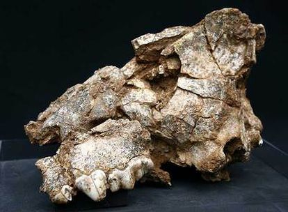 El cráneo de hiena.
