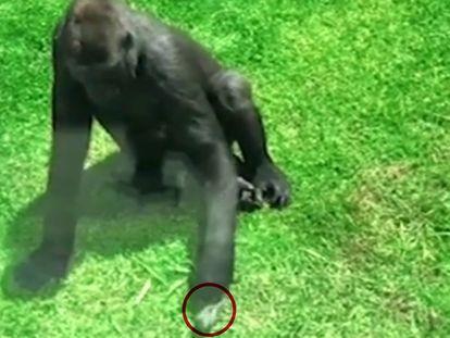 El gorila que intentó ayudar a volar a un pájaro herido