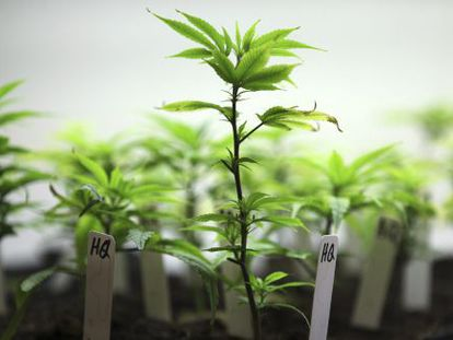 Cultivo de cannabis con fines medicinales.