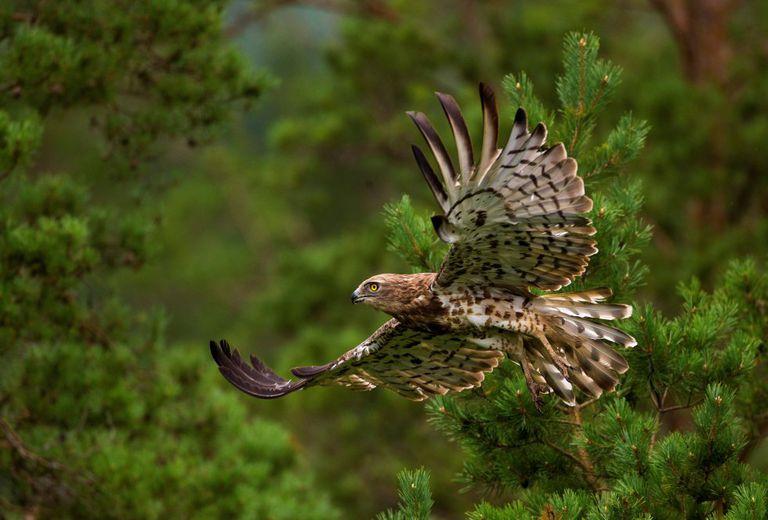 Un águila culebrera de dedo corto vuela en un bosque cerca de la aldea de Yanovichi (Bielorrusia).