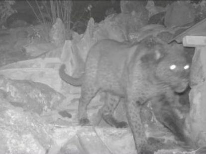 Es la primera demostración científica de la existencia de este inusual felino en el continente desde 1909