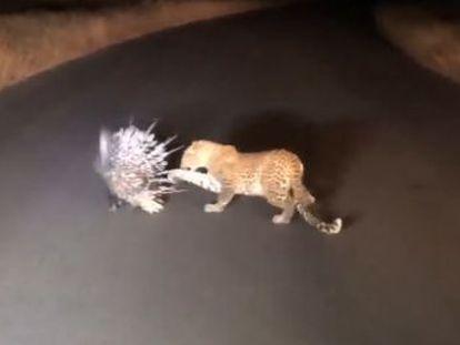 La defensa de espinas del roedor resultó impenetrable a los ataques del felino