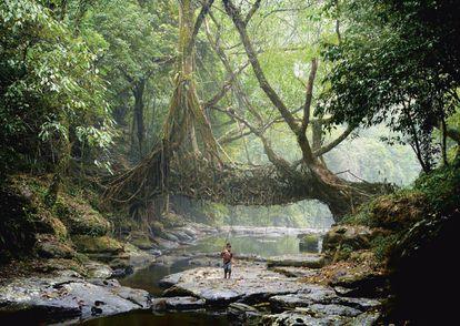 """""""Puente viviente"""" en Mawlynnong (India). Construido insertando tallos de un arbusto entre las raíces del árbol de la goma para lograr que, con el tiempo, estas vayan creciendo en la dirección deseada."""