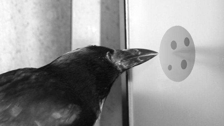 Un cuervo contando en un laboratorio.