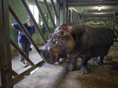 La veterinaria Cati Gerique y el hipopótamo Raff, en el Bioparc Valencia.
